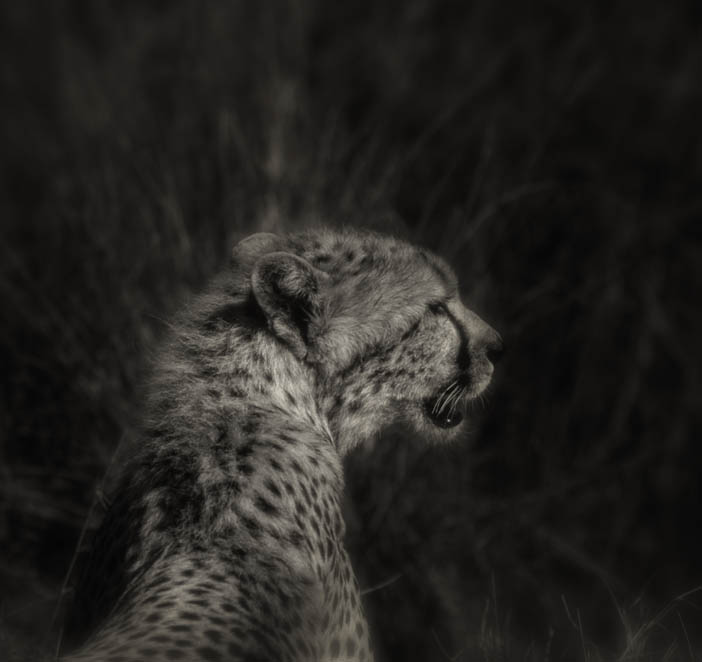Cheetah Profile